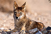 /images/133/2015-06-01-dv-coyote-1dx_1743.jpg - #12466: Coyote in Death Valley, California … June 2015 -- Death Valley, California