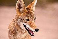 /images/133/2015-07-04-dv-coyotes-6d_3051.jpg - #12499: Coyote in Death Valley, California … July 2015 -- Death Valley, California