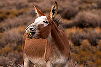 /images/133/2015-08-05-wildrose-donkeys-1dx_1778.jpg - #12562: Donkeys in Death Valley, California … August 2015 -- Wildrose, Death Valley, California