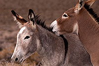 /images/133/2015-08-05-wildrose-donkeys-6d_7083.jpg - #12564: Donkeys in Death Valley, California … August 2015 -- Wildrose, Death Valley, California