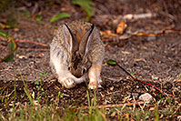 /images/133/2015-08-06-dv-wildrose-bunny-1dx_1977.jpg - #12567: Desert Cottontail in Death Valley, California … July 2015 -- Wildrose, Death Valley, California