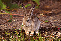 /images/133/2015-08-06-dv-wildrose-bunny-1dx_1994.jpg - #12569: Desert Cottontail in Death Valley, California … July 2015 -- Wildrose, Death Valley, California