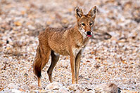 /images/133/2015-08-12-dv-coyote-7am-1dx_2392.jpg - #12573: Coyote in Death Valley, California … August 2015 -- Death Valley, California