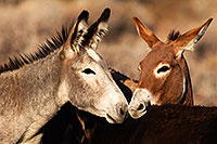 /images/133/2015-08-18-wildrose-donkeys-1dx_3655.jpg - #12608: Donkeys in Death Valley … August 2015 -- Wildrose, Death Valley, California