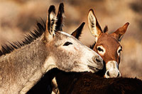 /images/133/2015-08-18-wildrose-donkeys-1dx_3664.jpg - #12609: Donkeys in Death Valley … August 2015 -- Wildrose, Death Valley, California