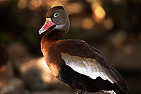 /images/133/2015-11-29-tucson-duck-1dx_00168.jpg - #12814: Black Bellied Whistling Duck at Arizona-Sonora Desert Museum … November 2015 -- Arizona-Sonora Desert Museum, Tucson, Arizona