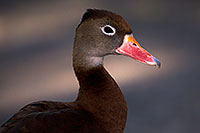 /images/133/2015-11-29-tucson-duck-1dx_00204.jpg - #12815: Black Bellied Whistling Duck at Arizona-Sonora Desert Museum … November 2015 -- Arizona-Sonora Desert Museum, Tucson, Arizona