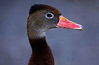 /images/133/2015-11-29-tucson-duck-1dx_00216.jpg - #12816: Black Bellied Whistling Duck at Arizona-Sonora Desert Museum … November 2015 -- Arizona-Sonora Desert Museum, Tucson, Arizona