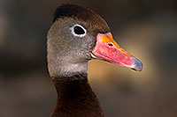 /images/133/2015-11-29-tucson-duck-1dx_00263.jpg - #12750: Black Bellied Whistling Duck at Arizona-Sonora Desert Museum … November 2015 -- Arizona-Sonora Desert Museum, Tucson, Arizona