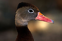 /images/133/2015-11-29-tucson-duck-1dx_00269.jpg - #12818: Black Bellied Whistling Duck at Arizona-Sonora Desert Museum … November 2015 -- Arizona-Sonora Desert Museum, Tucson, Arizona