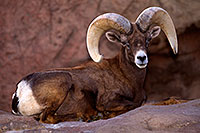 /images/133/2015-12-07-tucson-bighorn-1dx_01329.jpg - #12757: Bighorn Sheep in Arizona … December 2015 -- Arizona-Sonora Desert Museum, Tucson, Arizona