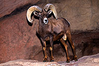 /images/133/2015-12-07-tucson-bighorn-1dx_01367.jpg - #12759: Bighorn Sheep in Arizona … December 2015 -- Arizona-Sonora Desert Museum, Tucson, Arizona
