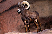 /images/133/2015-12-07-tucson-bighorn-1dx_01370.jpg - #12760: Bighorn Sheep in Arizona … December 2015 -- Arizona-Sonora Desert Museum, Tucson, Arizona