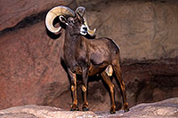 /images/133/2015-12-07-tucson-bighorn-1dx_01371.jpg - #12761: Bighorn Sheep in Arizona … December 2015 -- Arizona-Sonora Desert Museum, Tucson, Arizona
