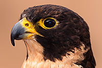 /images/133/2015-12-12-tucson-falcon-1dx_01416.jpg - #12802: Peregrine Falcon in Tucson, Arizona … December 2015 -- Arizona-Sonora Desert Museum, Tucson, Arizona