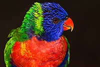 /images/133/2015-12-12-tucson-lorikeets-1dx_01993.jpg - #12828: Lorikeets in Tucson, Arizona … December 2015 -- Tucson, Arizona