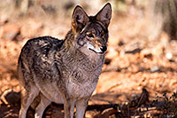 /images/133/2015-12-18-tucson-coyote-1dx_03597.jpg - #12830: Coyote in Tucson … December 2015 -- Arizona-Sonora Desert Museum, Tucson, Arizona