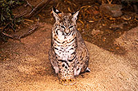 /images/133/2015-12-23-tucson-bobcats-1dx_03758.jpg - #12831: Bobcat in Tucson … December 2015 -- Arizona-Sonora Desert Museum, Tucson, Arizona