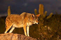 /images/133/2015-12-23-tucson-coyotes-1dx_03792.jpg - #12832: Coyote in Tucson … December 2015 -- Arizona-Sonora Desert Museum, Tucson, Arizona