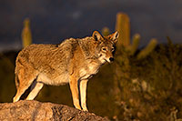 /images/133/2015-12-23-tucson-coyotes-1dx_03794.jpg - #12833: Coyote in Tucson … December 2015 -- Arizona-Sonora Desert Museum, Tucson, Arizona