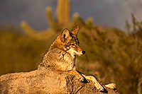 /images/133/2015-12-23-tucson-coyotes-1dx_03840.jpg - #12834: Coyote in Tucson … December 2015 -- Arizona-Sonora Desert Museum, Tucson, Arizona