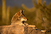 /images/133/2015-12-23-tucson-coyotes-1dx_03852.jpg - #12835: Coyote in Tucson … December 2015 -- Arizona-Sonora Desert Museum, Tucson, Arizona