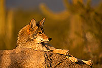 /images/133/2015-12-23-tucson-coyotes-1dx_03901.jpg - #12836: Coyote in Tucson … December 2015 -- Arizona-Sonora Desert Museum, Tucson, Arizona