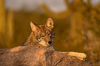 /images/133/2015-12-23-tucson-coyotes-1dx_03918.jpg - #12837: Coyote in Tucson … December 2015 -- Arizona-Sonora Desert Museum, Tucson, Arizona