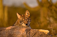 /images/133/2015-12-23-tucson-coyotes-1dx_03919.jpg - #12838: Coyote in Tucson … December 2015 -- Arizona-Sonora Desert Museum, Tucson, Arizona