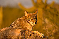/images/133/2015-12-23-tucson-coyotes-1dx_03929.jpg - #12839: Coyote in Tucson … December 2015 -- Arizona-Sonora Desert Museum, Tucson, Arizona