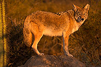 /images/133/2015-12-23-tucson-coyotes-1dx_03993.jpg - #12841: Coyote in Tucson … December 2015 -- Arizona-Sonora Desert Museum, Tucson, Arizona