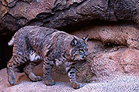/images/133/2015-12-30-tucson-bobcat-1dx_04074.jpg - #12842: Bobcat in Tucson … December 2015 -- Arizona-Sonora Desert Museum, Tucson, Arizona