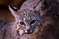 /images/133/2015-12-30-tucson-bobcat-1dx_04151.jpg - #12843: Bobcat in Tucson … December 2015 -- Arizona-Sonora Desert Museum, Tucson, Arizona