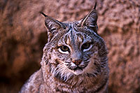 /images/133/2015-12-30-tucson-bobcat-1dx_04154.jpg - #12844: Bobcat in Tucson … December 2015 -- Arizona-Sonora Desert Museum, Tucson, Arizona
