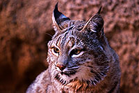 /images/133/2015-12-30-tucson-bobcat-1dx_04156.jpg - #12845: Bobcat in Tucson … December 2015 -- Arizona-Sonora Desert Museum, Tucson, Arizona