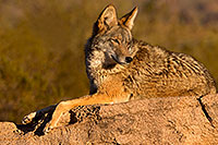 /images/133/2015-12-30-tucson-coyote-1dx_04480.jpg - #12846: Coyote in Tucson … December 2015 -- Arizona-Sonora Desert Museum, Tucson, Arizona