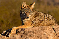/images/133/2015-12-30-tucson-coyote-1dx_04501.jpg - #12847: Coyote in Tucson … December 2015 -- Arizona-Sonora Desert Museum, Tucson, Arizona