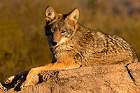 /images/133/2015-12-30-tucson-coyote-1dx_04510.jpg - #12848: Coyote in Tucson … December 2015 -- Arizona-Sonora Desert Museum, Tucson, Arizona