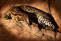 /images/133/2015-12-30-tucson-ocelot-1dx_04222.jpg - 12882: Ocelot in Tucson … December 2015 -- Arizona-Sonora Desert Museum, Tucson, Arizona