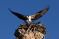 /images/133/2016-05-10-ca-mono-osprey-1dx_13454.jpg - #12920: Osprey landing in the nest at Mono Lake, California … May 2016 -- Mono Lake, California