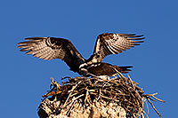 /images/133/2016-05-10-ca-mono-osprey-6d_8014.jpg - #12921: Osprey in the nest at Mono Lake, California … May 2016 -- Mono Lake, California