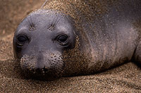 /images/133/2016-05-12-ca-seals-1dx_14144.jpg - #12924: Elephant Seal in San Simeon, California … May 2016 -- San Simeon, California
