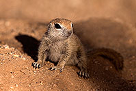 /images/133/2016-05-15-creatures-1dx_14667.jpg - #12988: Round Tailed Ground Squirrels in Tucson … May 2016 -- Tucson, Arizona