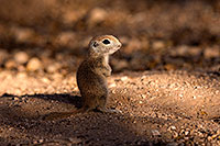 /images/133/2016-05-15-creatures-1dx_14796.jpg - #12989: Round Tailed Ground Squirrels in Tucson … May 2016 -- Tucson, Arizona