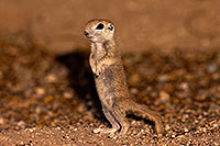 /images/133/2016-05-15-creatures-1dx_14888.jpg - #12991: Round Tailed Ground Squirrels in Tucson … May 2016 -- Tucson, Arizona