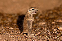 /images/133/2016-05-15-creatures-1dx_14903.jpg - #12992: Round Tailed Ground Squirrel squeeking in Tucson … May 2016 -- Tucson, Arizona