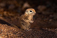 /images/133/2016-05-15-creatures-1dx_14938.jpg - #12993: Round Tailed Ground Squirrels in Tucson … May 2016 -- Tucson, Arizona