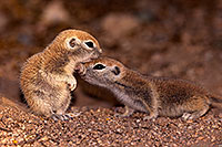 /images/133/2016-05-15-creatures-1dx_14942.jpg - #12994: Round Tailed Ground Squirrels in Tucson … May 2016 -- Tucson, Arizona