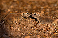 /images/133/2016-05-15-creatures-1dx_14964.jpg - #12995: Round Tailed Ground Squirrels in Tucson … May 2016 -- Tucson, Arizona