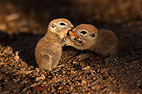/images/133/2016-05-15-creatures-1dx_15012.jpg - #12996: Round Tailed Ground Squirrels in Tucson … May 2016 -- Tucson, Arizona